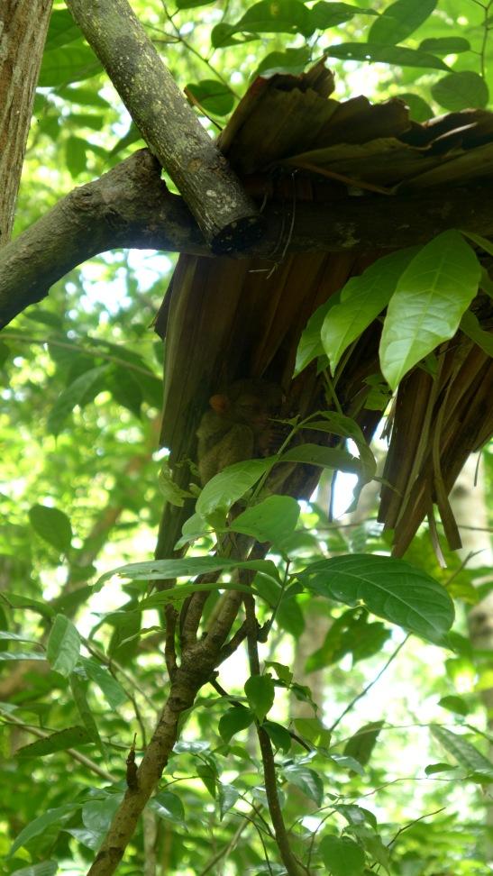 Tarsier Sanctuary, Loboc, Bohol
