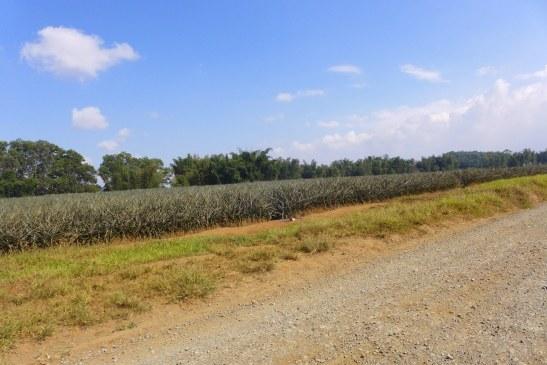 Del Monte Pineapple Plantation, Camp Philips, Bukidnon